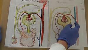 Sonnenschirm Rechteckig 3 X 4 : niere nephron lernvideo anatomie physiologie wissen f r rettungsdienstler rs rh youtube ~ Frokenaadalensverden.com Haus und Dekorationen