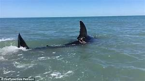 Man films great white shark in shallow water in Mexico ...