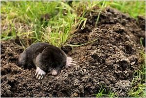 Tiere Unter Der Erde : maulwurf foto bild tiere wildlife s ugetiere bilder auf fotocommunity ~ Frokenaadalensverden.com Haus und Dekorationen