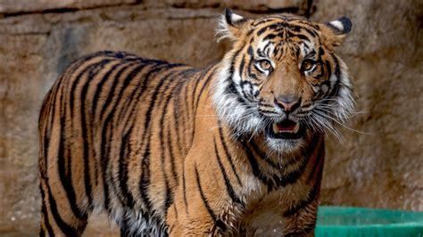 sumatran tiger  zoo  wallpapers hd wallpapers id