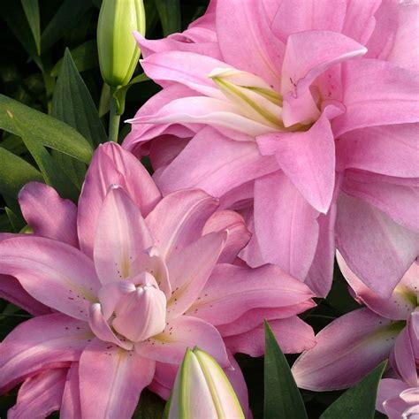 Buy Lotus lily bulb Lilium 'Lotus Breeze (Lotus Lily ...