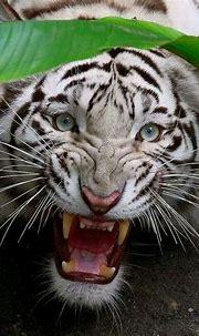 Wild White Tiger | Wild cats, Bengal tiger, White bengal tiger