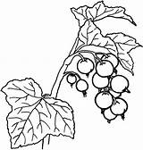 Holly Berries Coloring Berry Pages Drawing Leaves Getcolorings Unusual Inspiration Printable Getdrawings Fruit sketch template