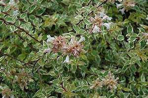 Radiance™ Abelia (Abelia x grandiflora 'Radiance') in