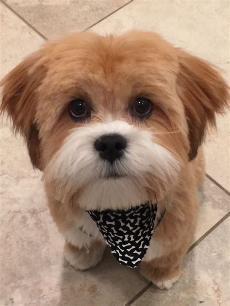 17 best images about grooming shih tzu havanes on