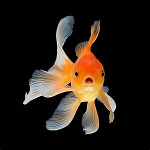 Best Goldfish Stock Photos  Pictures  U0026 Royalty-free Images