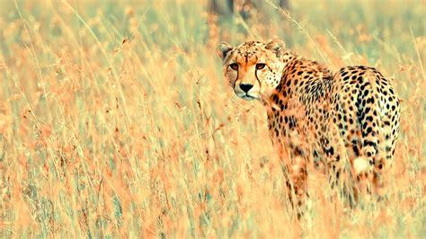 Animal Desk Memo Board beautiful cheetah animal wallpaper desktop backgrounds