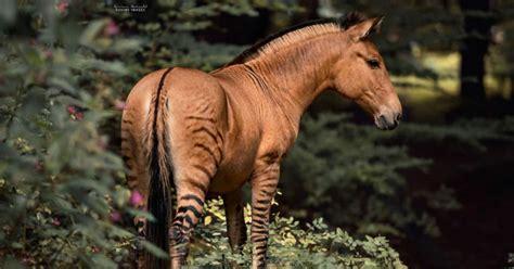 zorse zebra horse hybrid between stunning