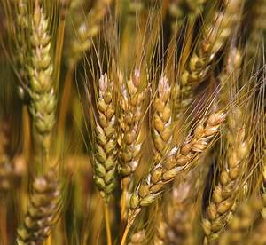 When Will Wheat Harvest Begin? | The Wheat Beat