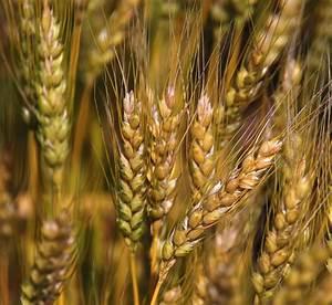When Will Wheat Harvest Begin