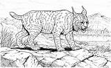 Lynx Coloring Pages Printable Cat Bobcat Cats Canadian Animals Footprint Cliparts Barnehage Designlooter Version Stalking Results Library Clipart Pacing 68kb sketch template