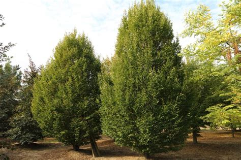 hainbuche carpinus betulus carpinus betulus fastigiata s 228 ulen hainbuche