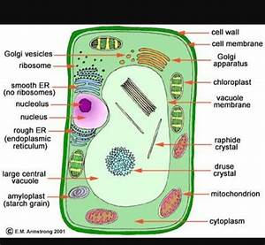 Draw A Plant Cell And Label The Parts Which A Determines
