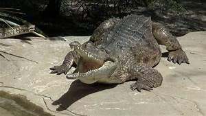 Australian Freshwater Crocodile  Johnston U0026 39 S Crocodile  Crocodylus Johnsoni     Australien