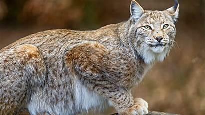 Animals Lynx Dangerous Predator Wild Custom Wallpapers