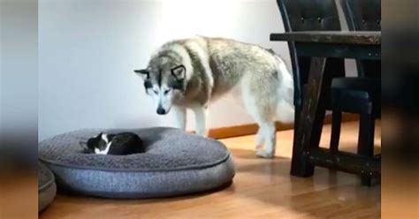 Alaskan Malamute Agrees To Share Her Bed With Little