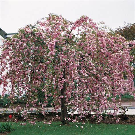 weeping cheery tree weeping cherry cheals hello hello plants garden supplies