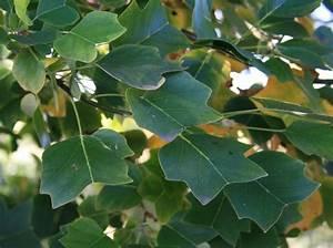 Sulen Tulpenbaum 39Ardis39 Liriodendron Tulipifera 39Ardis