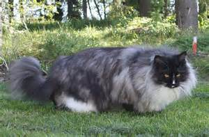 do maine coon cats shed their mane 1000 images about cats maine coon on mancoon