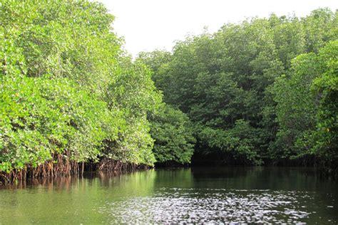 nusa lembongan mangrove forest bali travel news