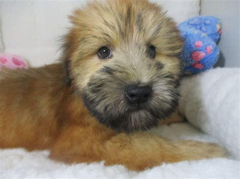 soft coated wheaten terrier  puppies  sale