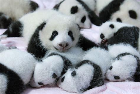 free panda wallpapers pixelstalk net