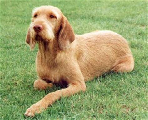 Do Wirehaired Vizslas Shed by Wirehaired Vizsla Breed Guide Learn About The Wirehaired