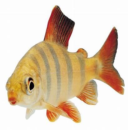 Fish Side Clipart Transparent Orange Sideview Webstockreview