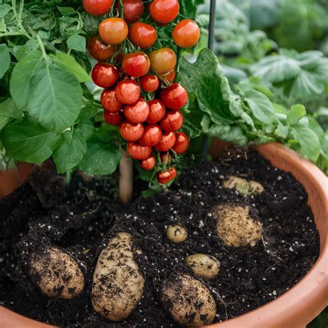 tomaten kartoffelpflanze tomtato veredelt von gaertner