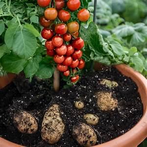 Wann Tomaten Pflanzen : wann tomaten pflanzen wann tomaten pflanzen tomaten pflanzen balkon wann innenr tomaten ~ Frokenaadalensverden.com Haus und Dekorationen