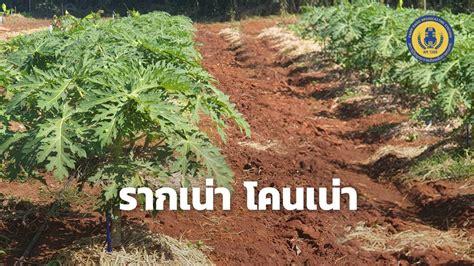 รากเน่า โคนเน่า - สถานีวิทยุกระจายเสียงเพื่อการเกษตร