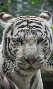 1,855 Front Tiger View Photos - Free & Royalty-Free Stock ...