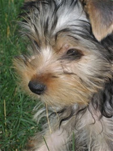 Morkies Do They Shed by Breed Terriers Enter Your Title Here