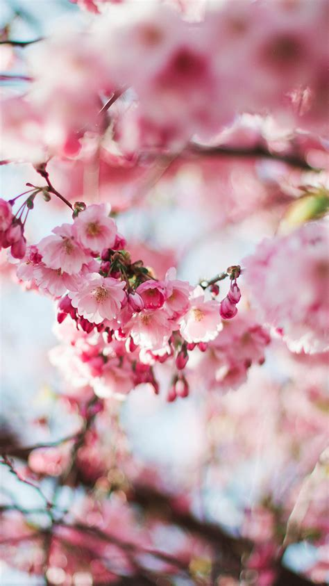 nx spring cherry blossom tree flower pink nature wallpaper