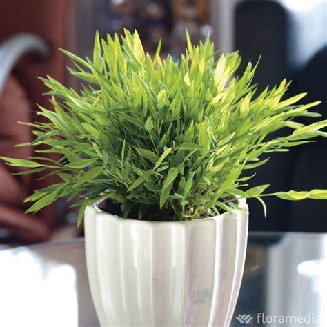 petit bambou en pot entretien pivoine etc