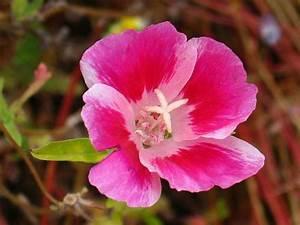 Planter Des Choux Fleurs : clarkia rubicunda clarkia plants garden et garden plants ~ Melissatoandfro.com Idées de Décoration