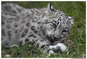 Baby Snow Leopard: Eat Meat by TVD-Photography on DeviantArt