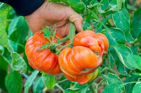 tomaten mit braunfaeule sind sie essbar