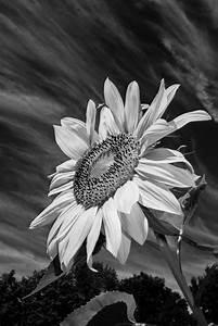 Black And White Sunflowers Tumblr | Bouquet Idea