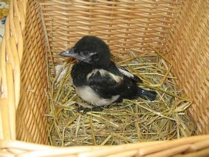 sauver  oiseau recueillir  oiseau soigner  oiseau