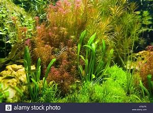 Background of freshwater aquarium plants Stock Photo ...