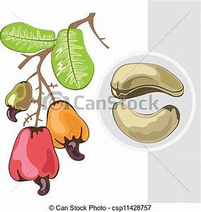 Clipart Vector of Cashew. Branch with fruits and nuts ...