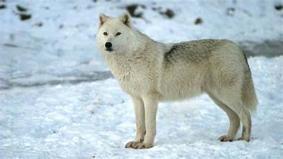 Wolf Cool Backgrounds Wolves Wallpapers 1080