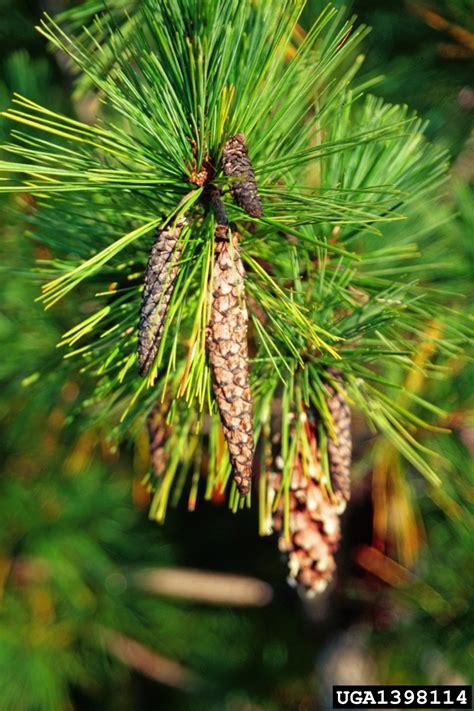 white pine cone beetle conophthorus coniperda