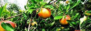 Wann äpfel Ernten : obstanbau die eigenen fr chte ernten ~ Lizthompson.info Haus und Dekorationen