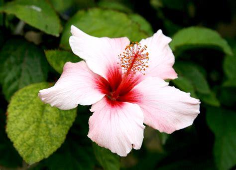 hibiscus planter et tailler ooreka