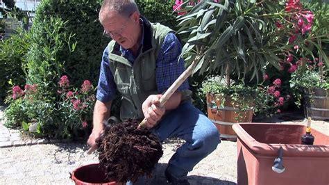 kuebelpflanzen umtopfen zeitpunkt drainage duengung
