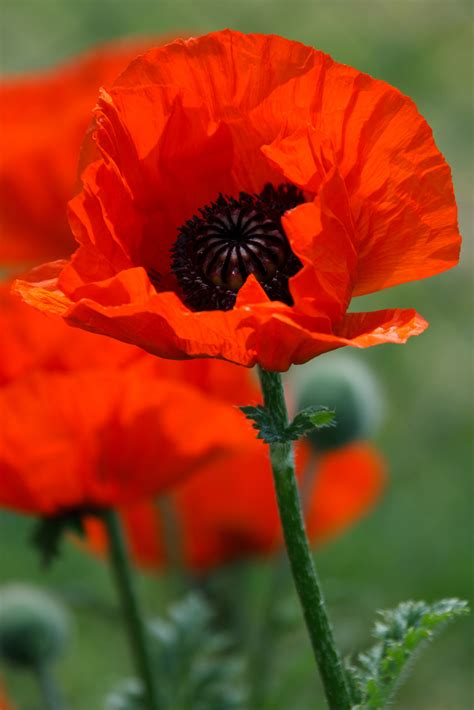 poppies the flower poppy flower free stock photo public domain pictures