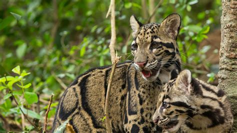 clouded leopard wallpapers animal hq clouded leopard