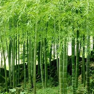 100  Pcs Seeds Phyllostachys Pubescens Moso
